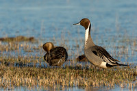 Pintail Duck Pair - PT00353