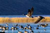 Greater Canada Geese in Flight - GCFL00608
