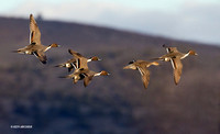 Pintail Ducks, Courtship Flight - PTFL00627