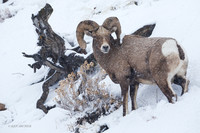 BHWR01414 - Rocky Mountain Bighorn Sheep