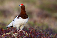 Willow Ptarmigan - NMWP00111