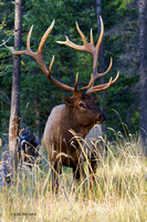 Elk, Rocky Mountain, Autumn (vertical)