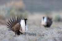 SGCO00014 - Greater Sage Grouse