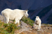 MNGT00176 - Mountain Goat