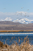 Freeze Out Lake, Snow Geese - SNGS02137