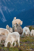 MNGT00089 - Mountain Goat