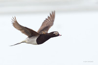 Long-tailed Duck in Flight - NMLD00478