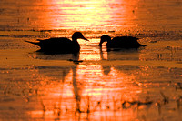 Pintail Duck Pair - PT00392