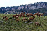 RMEK00518-Rocky-Mountain-Elk