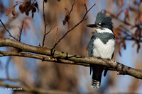 BK00214 Belted Kingfisher