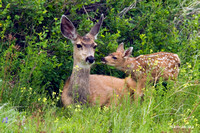 Mule Deer Doe with Newborn Fawn - MEDR00152