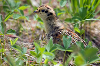 SYGR00001 Sooty Grouse