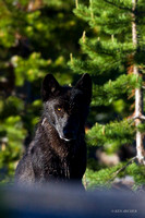Yellowstone National Park - Wildlife & Landscapes