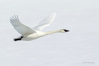 TWSW00584 - Trumpeter Swans