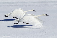 TWSW00572 - Trumpeter Swans