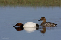Canvasback Duck Pair - CVB00083