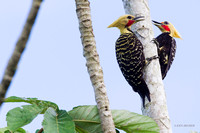 Blond-crested Woodpecker - ARBD01503