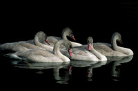 TRSW862054-Trumpeter-Swan-Cygnets