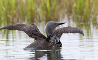 NMRL01761 - Red-throated Loon