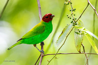 TTBH00059 Bay-headed Tanager