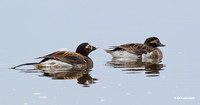 Long-tailed Ducks - NMLD00231