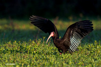 Bare-faced Ibis - ARSB00382
