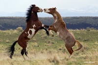 Wild Horses, Fighting Stallions, Oregon - WDHS01336