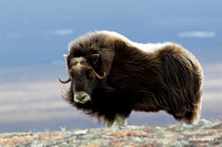 Musk Ox - NMMO00341