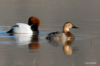 CVB00003 Canvasback Duck