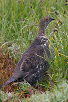 SYGR00092 Sooty Grouse