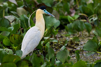 BZCH00048 - Capped Heron