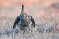 STGR00312 - Sharp-tailed Grouse