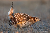STGR00377 - Sharp-tailed Grouse