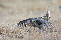 STGR00489 - Sharp-tailed Grouse