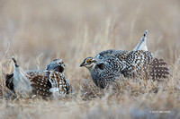 STGR00536 - Sharp-tailed Grouse