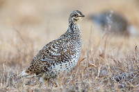 STGR00584 - Sharp-tailed Grouse