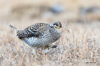 STGR00692 - Sharp-tailed Grouse