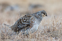 STGR00699 - Sharp-tailed Grouse