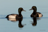 NMGP00091 - Greater Scaup