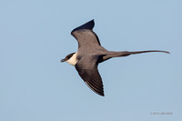 NMLJ01326 - Long-tailed Jaeger