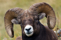 BHRM00024 - Rocky Mountain Bighorn Sheep