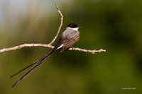 Fork-tailed Flycatcher - ARBD01917