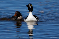 Barrow's Goldeneye Duck Pair - BGED00264
