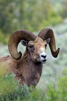 BHRM00456-Rocky-Mountain-Bighorn-Sheep
