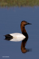 CVB00075 Canvasback Duck