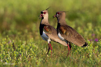 Southern Lapwing - ARSB00531