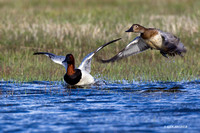 CVB00107 Canvasback Duck