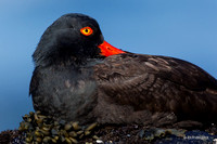 BKOC00449 - Black Oystercatcher