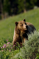 GRZ00524-Grizzly-Bear