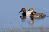 Canvasback Duck Pair - CVB00061